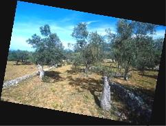 Olivenhain bei Deià